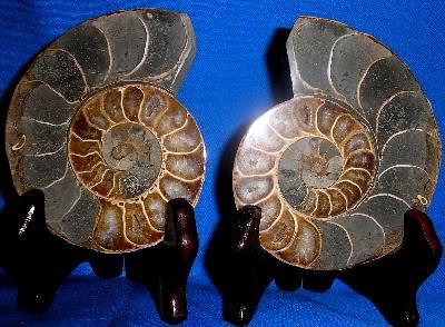 Split Ammonite 224