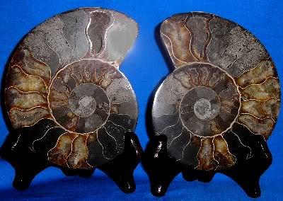Split Ammonites 212