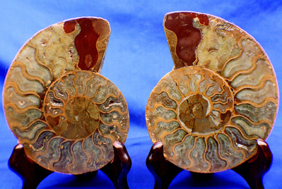 Split Ammonites 311