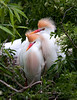 Cattle Egrets (Breeding Plumage)
