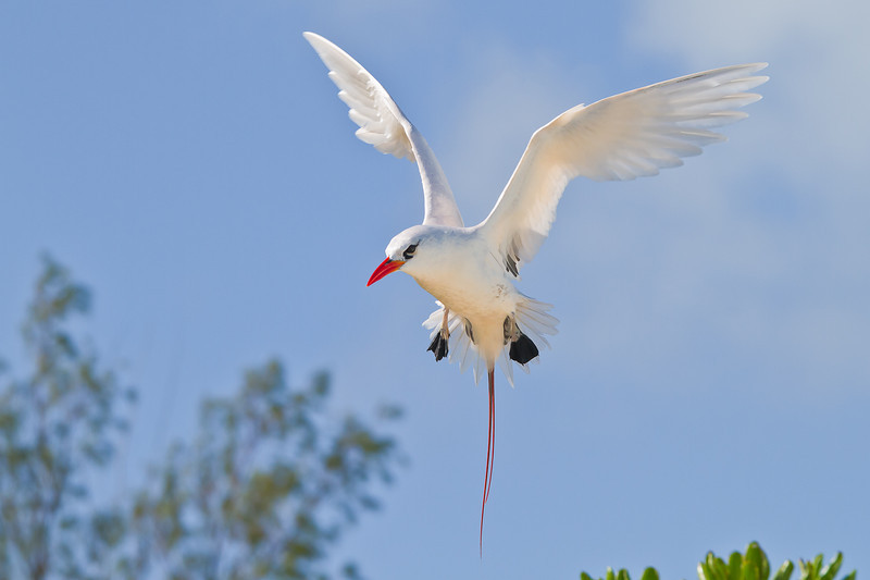Midway Atoll NWR, Red Tailed Tropicbird