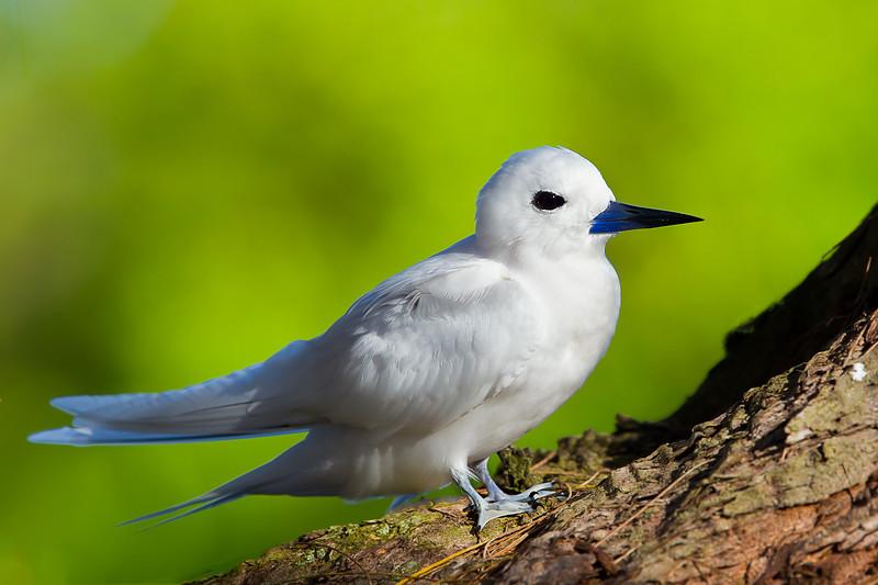 Midway Atoll NWR White Tern