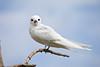 White Tern, Midway Atoll