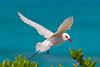 Midway Atoll NWR Red Tailed Tropicbird