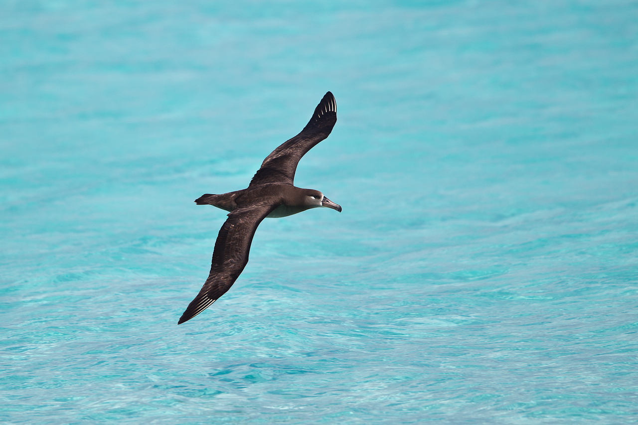 Midway Atoll NWR339-Black Footed Albatross