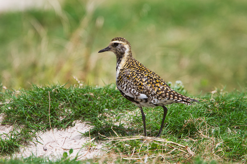 Midway Atol,l Golden Plover