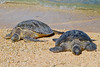 Midway Atoll NWR  Green Turtles