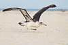 Midway Atoll NW, Laysan Albatross Takeoff