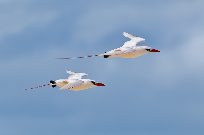 Midway Atoll NWR, Red Tailed Tropicbirds