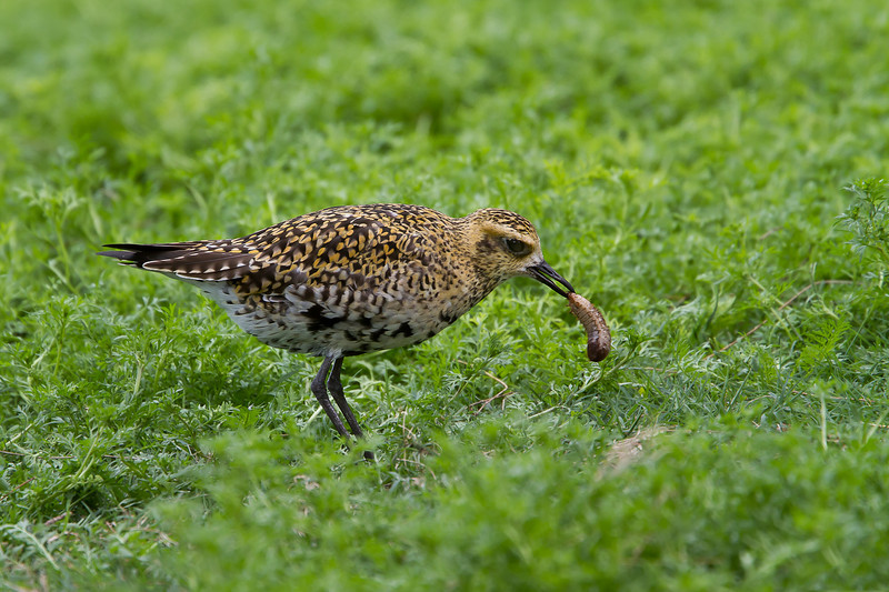 Midway Atoll, Golden Plover
