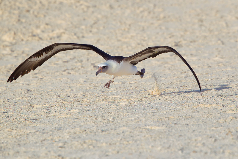 Midway Atoll NWR, Laysan Albatross takeoff
