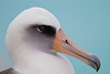 Midway Atoll Laysan Albatross