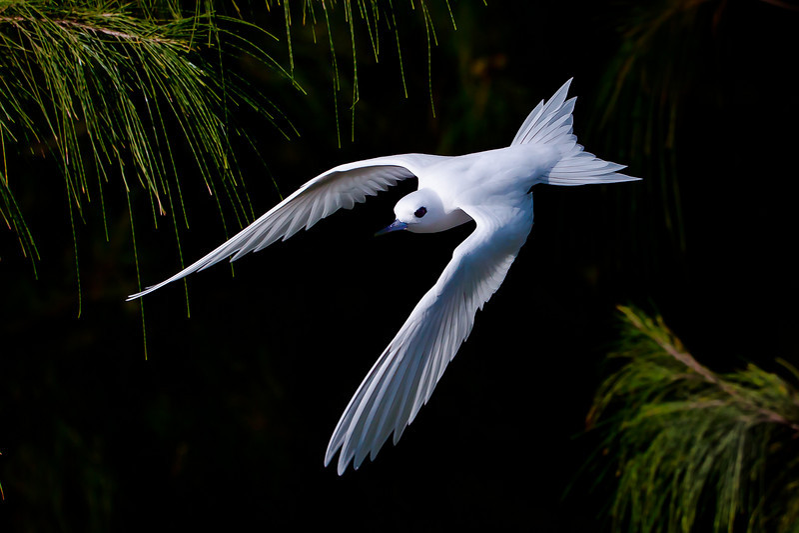Midway Atoll NWR, White Tern