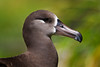 Midway Atoll NWR Black Footed Albatross