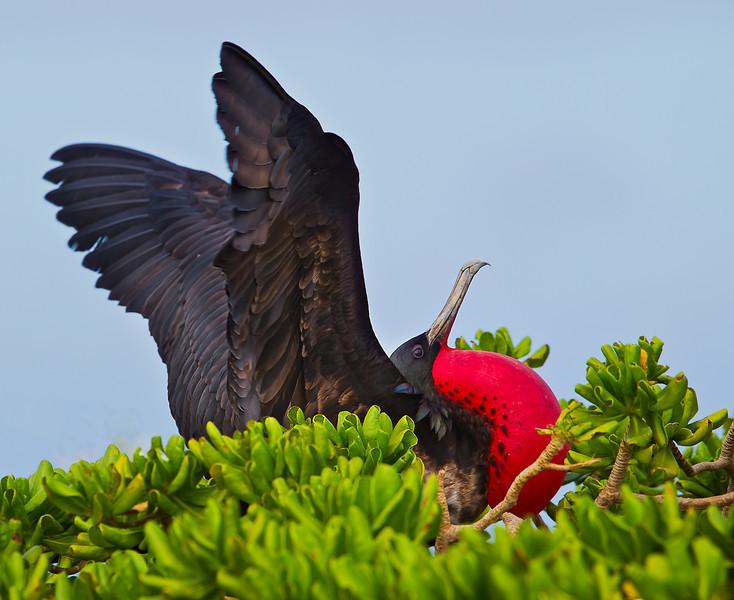 Midway Atoll Eastern Island Magnfiicent Frigatebird