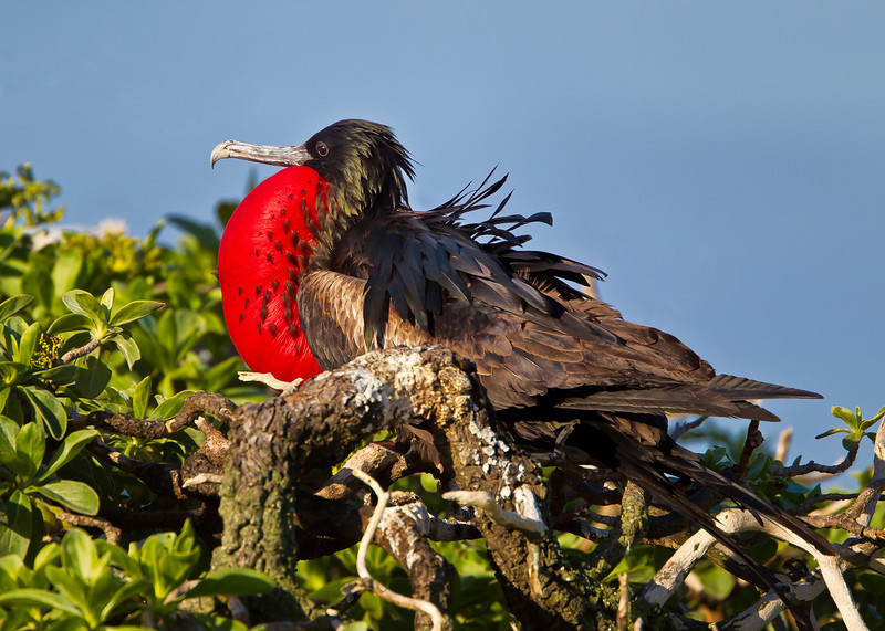 Midway Atoll, Eastern Island, Magnificent Frigatebird (Male)