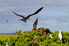 Midway Atoll Eastern Island, Magnificent Frigatebirds