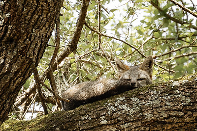 Avalon Grey Fox Vigilant Rest