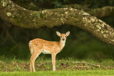 Fawn on Avery Island, Louisiana.