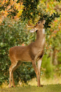 "The deer on Avery Island are a subspecies of white-tailed deer called ""Odocoileus Virginianus McIlhennyi,"" named after E. A. McIlhenny back in the 1920's by the Colorado Museum of Natural History, and reported by Frederic W. Miller in the Journal of Mammalogy in February, 1928.  This buck searched for acorns, but dinner was assured, as there are specially planted feed plots around Avery Island to keep the deer healthy."