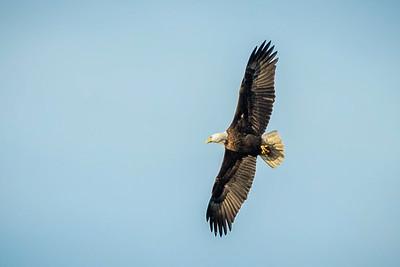 Bald Eagle flying over Avery Island.
