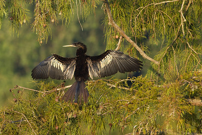 Another reason Anhingas can swim underwater is that they have no oil in their feathers to make them buoyant or water resistant.  As a result, they must spread their wings to dry them before they can fly, as this one did on a hot summer day.