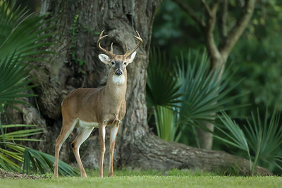 Buck on Avery Island, Louisiana.