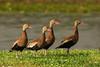 Black-bellied Whistler Ducks in Jungle Gardens on a spring morning.