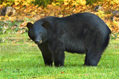 "Louisiana Black Bears are distinguished from other American Black Bear subspecies by their longer, narrower skulls and larger molar teeth.  They became classified as ""threatened"" under the Endangered Species Act in 1992, after their population declined markedly due to unregulated hunting and the loss of their habitat.  Their hardwood forest habitat was decimated when farmers cleared land for agriculture.  Although there are only an estimated 500 to 700 Louisiana Black Bears alive today, their population is increasing.  Farmers are now converting marginal bottom lands along the Mississippi River back to hardwood forests, partly because federal and state governments have offered incentives. It is also illegal now to hunt or kill these bears.  Although Louisiana Black Bears eat mainly acorns and berries, they will eat garbage and whatever else they can find. It is illegal to feed bears in Louisiana, for their protection as well as ours. If they lose their natural fear of people, and learn to expect food from us, they can become dangerous, and may have to be killed. The old saying, ""a fed bear is a dead bear,"" holds very true.  Although this one photo is included here, please see our separate gallery devoted entirely to the Louisiana Black Bear for many additional photos.  (Source:  Black Bear Conservation Coalition)"