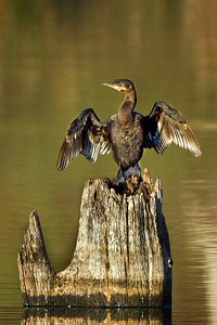 Cormorants, like this one, are often confused with Anhingas, because both have webbed feet, swim underwater, and dry their wings in the sun. We can distinguish a Cormorant by its curved bill, orange color near its bill, wider body, and shorter tail. Asian fishermen have used some species of Cormorants to help them fish for over 2,000 years--they place a ring around the bird's neck to prevent it from swallowing its catch. Today U.S. fish farmers complain that Cormorants eat way too many catfish from their farm ponds.