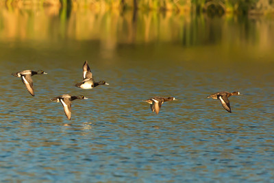 Lesser Scaup hens and drakes in flight.