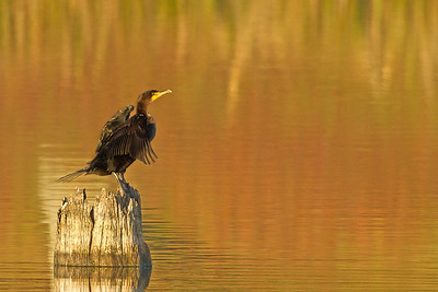 Cormorant on a fall sunrise on Avery Island.