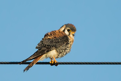 The American Kestrel, also called the Sparrow Hawk, is the smallest falcon in North America, and one of the most colorful.  They mostly eat insects, other invertebrates, small rodents and birds.