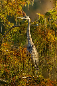 Great Blue Heron in fall colors on Avery Island.