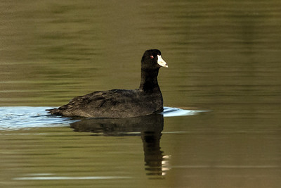 "The American Coot, common and widespread in our country, is often mistaken for a duck.  While it swims in water like a duck, it does not have webbed feet.  Instead, its toes have large lobes of skin that help it swim through the water, but fold back each time its foot is raised so it can walk on land easily, too.  It eats mainly aquatic plants, and the oldest known Coot lived to be 22 years old.  Source:  The Cornell Lab or Orinthology ""All About Birds."""