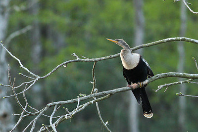 The Anhinga has webbed feet, which allow it to swim underwater.