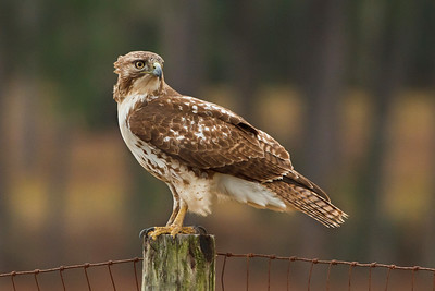 Broad-winged Hawks typically swoop down from their perches once they have spotted potential prey.  More often, we see them perched higher up in the trees, but this one landed on a fence post at the back of the pepper fields.