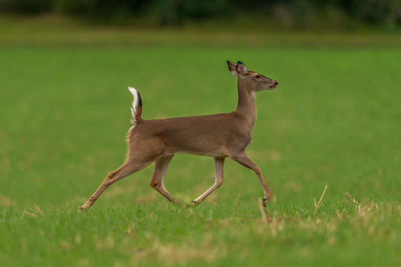 Avery Island White Tailed Doe showing why the species is so named.