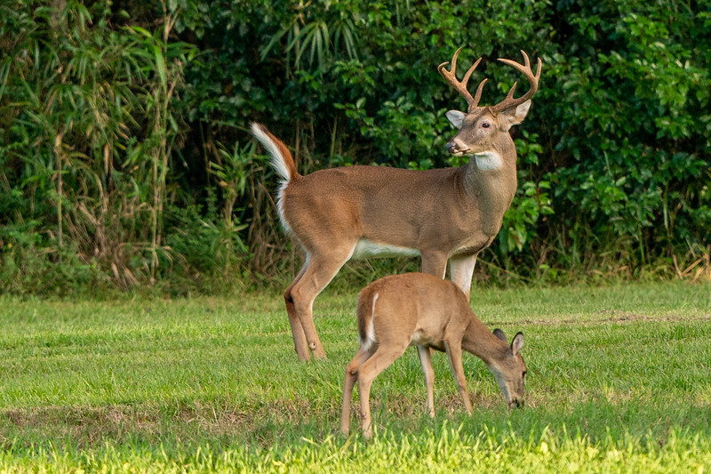 White-tailed Buck and Doe on Avery Island.