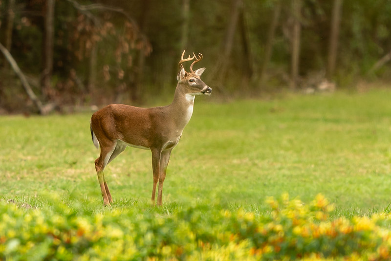 White tailed buck surveying the pepper fields on Avery Island.