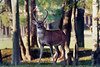 "The deer on Avery Island are a subspecies of white-tailed deer called ""Odocoileus Virginianus McIlhennyi,"" named after E. A. McIlhenny back in the 1920's by the Colorado Museum of Natural History, and reported by Frederic W. Miller in the Journal of Mammalogy in February, 1928.  Edmund and I photographed this buck standing not far from the Tabasco Country Store.  To keep the deer healthy and well nourished, there are several specially planted feed plots on Avery Island."