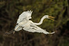 Great Egret flying over Bird City in Avery Island's Jungle Gardens.