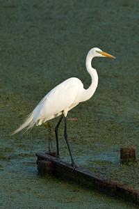 Egret on Avery Island