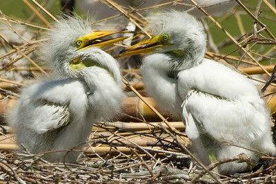 Young Great Egrets in Jungle Gardens.