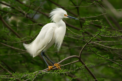 Snowy Egret on a windy April day on Avery Island.