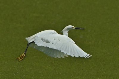 Snowy Egret flying across Bird CIty in Avery Island's Jungle Gardens.