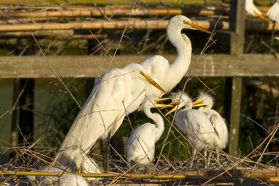 April brings egret chicks, and National Geographic notes that young Great Egrets are so aggressive with each other that not all of them survive. Sibling rivalry does seem to be an issue!
