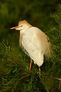 Cattle Egret perched in the treetops beyond the Buttonwood Tree to the right of the Bird City observation platform in Avery Island's Jungle Gardens.