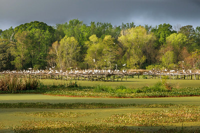 "The wildfowl refuge at Willow Pond, where E. A. McIlhenny raised the first eight of his endangered Snowy Egrets, is now called Bird City, and thousands of egrets and other species migrate back here every spring.  The Egrets feel safe nesting over water, partly because the alligators swimming in the swamp below keep predators, like raccoons, away.  Theodore Roosevelt, the father of American conservationism, called Bird City, ""the most noteworthy reserve in this country.""  (Source:  McIlhenny Company)"