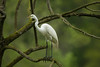 Great Egret on Avery Island.
